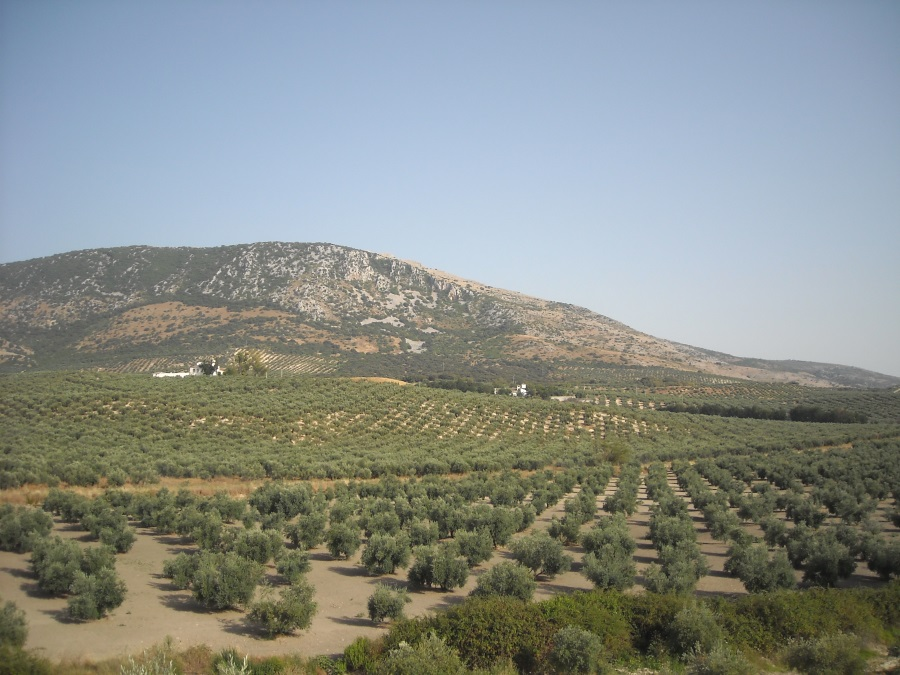 小麦畑_オリーブやブドウなどを栽培する地中海式農業(モロッコや ...